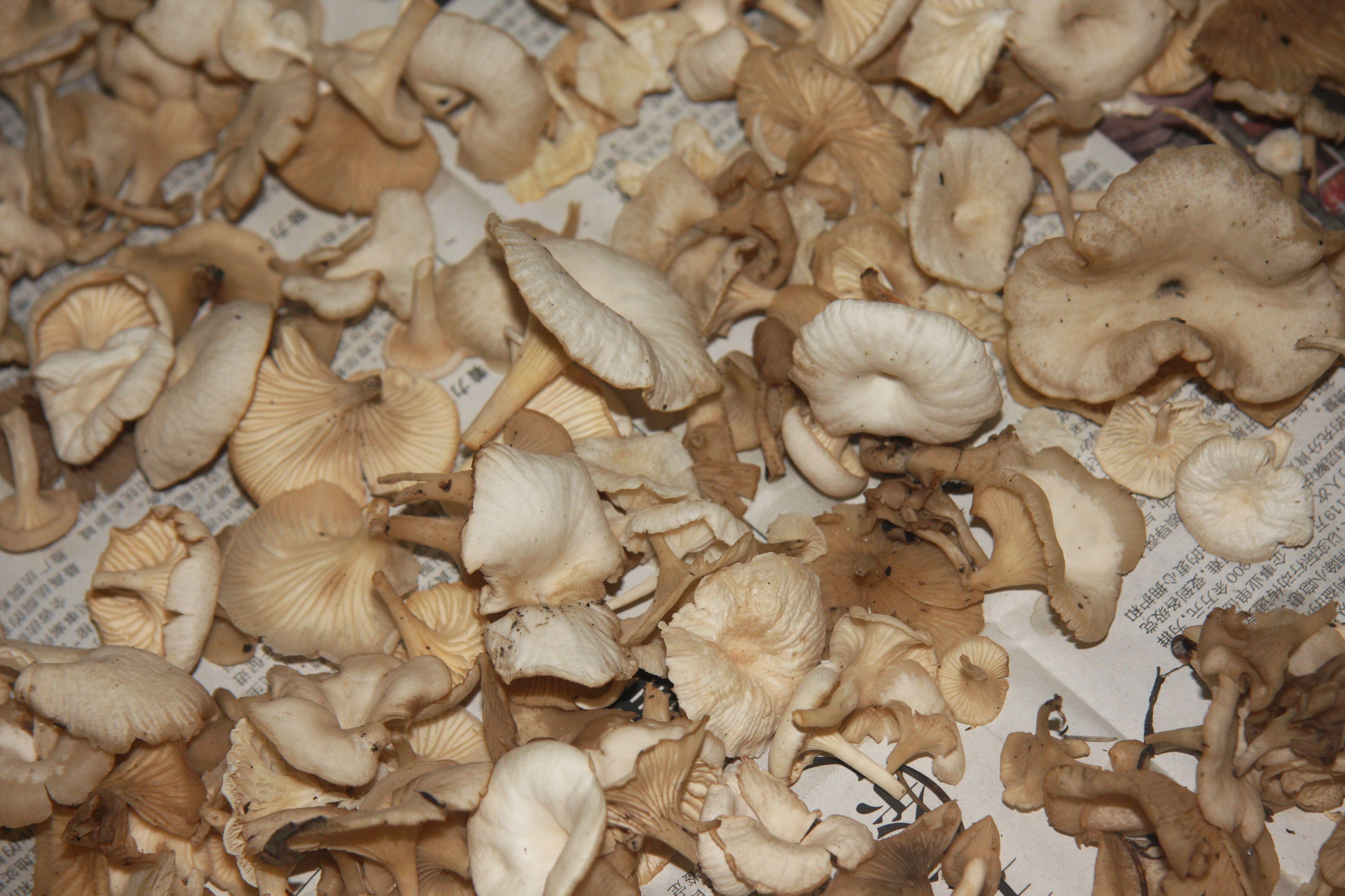有毒白蘑菇图片相关图片:
