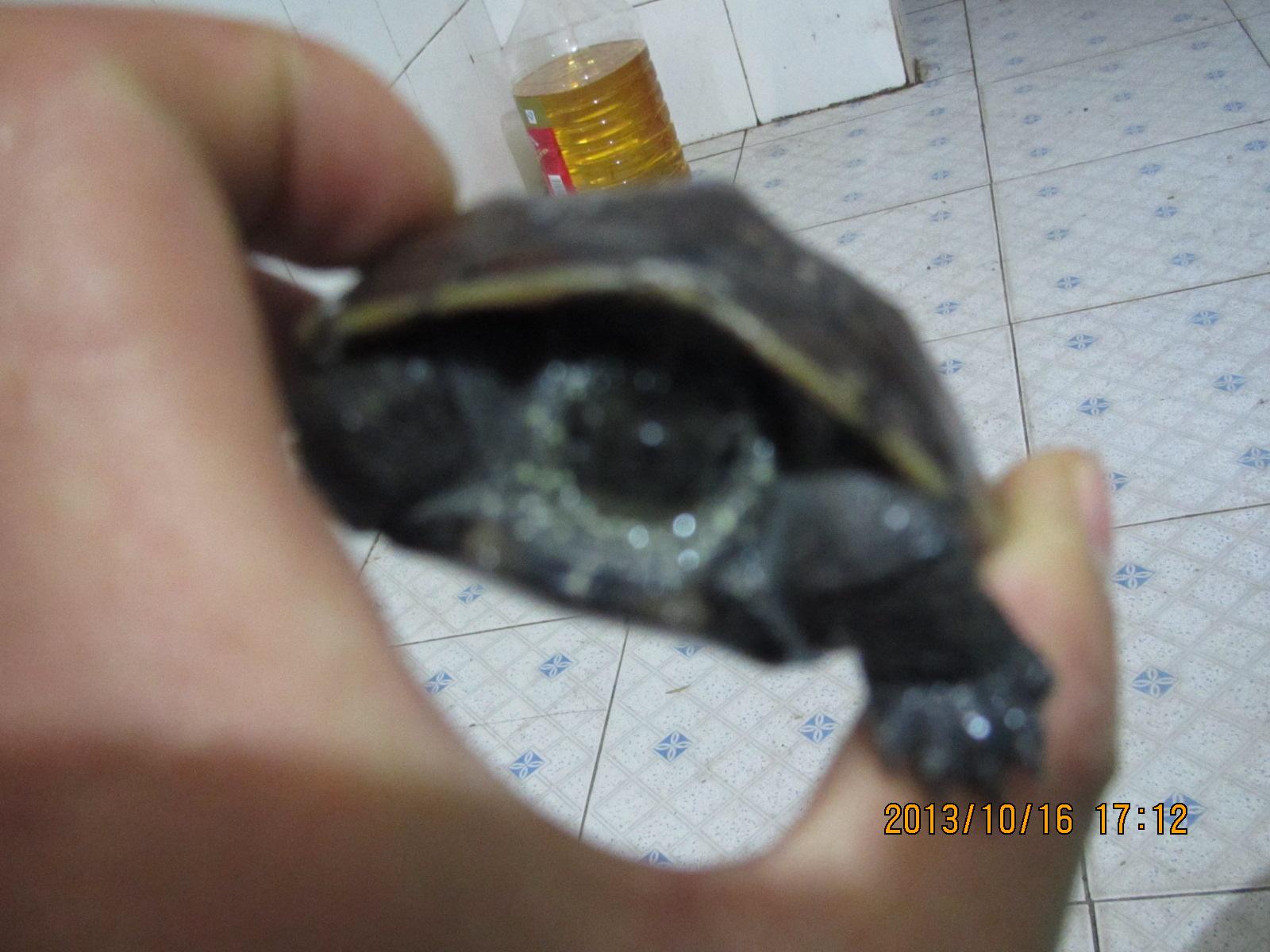 这个乌龟多大了