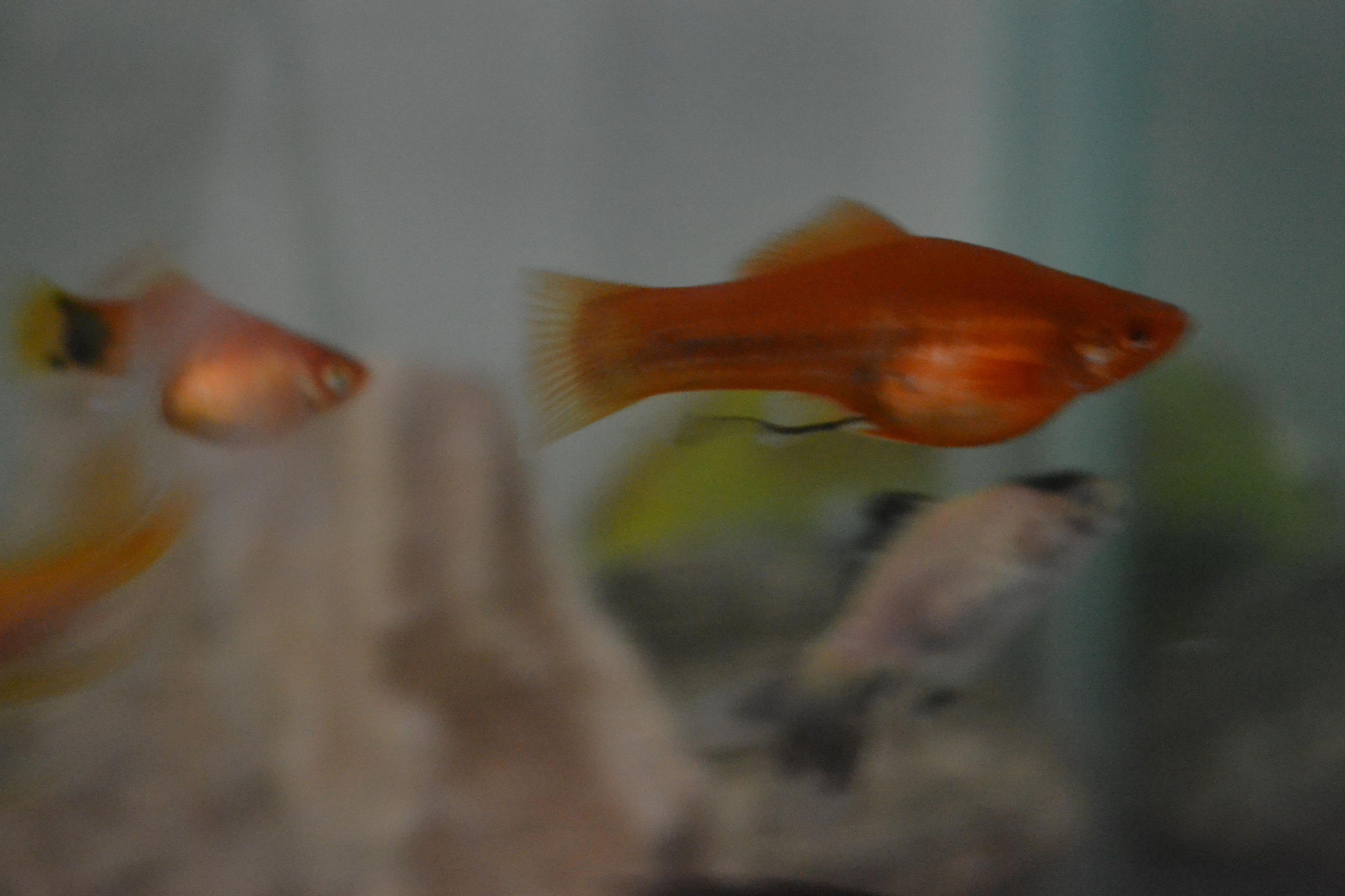 红箭鱼怎么分公母图片