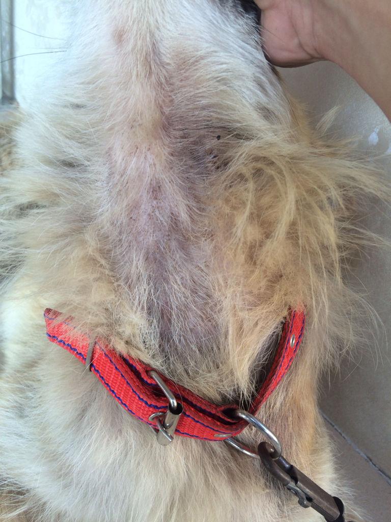狗狗皮肤病_狗狗这是得了什么皮肤病?
