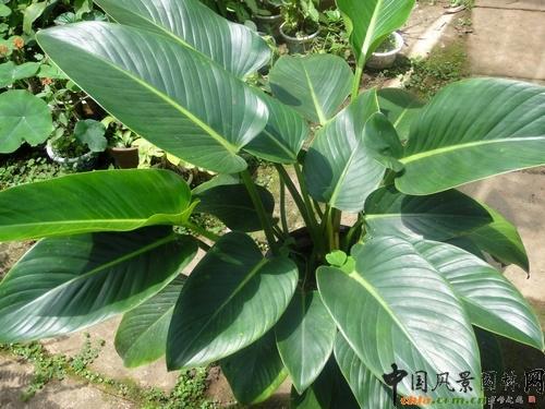 大叶子绿色植物