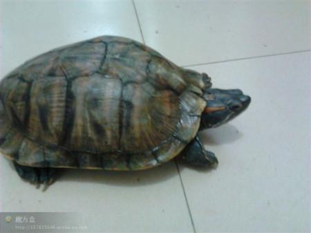 求鉴定乌龟品种,如何养