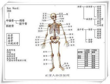 人体骨架模型图片