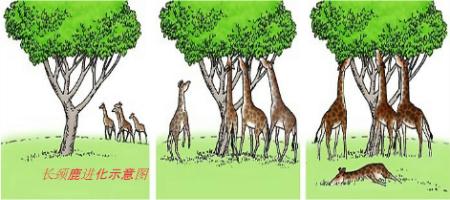 关于长颈鹿形成原因,下列解释错误的是( )