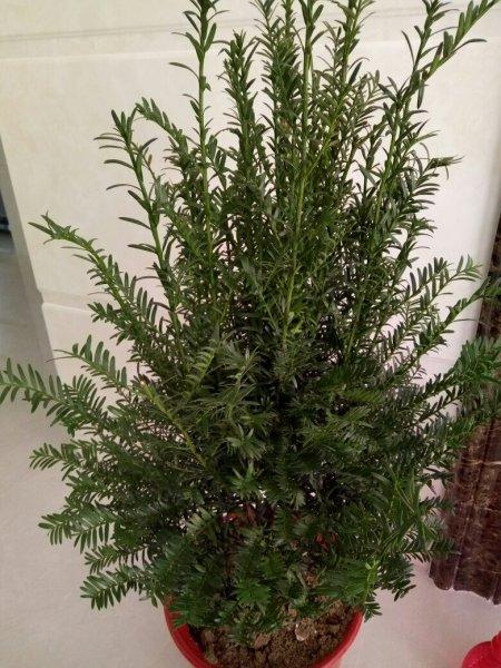 这棵红豆杉需要修剪吗?图片