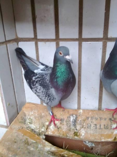 鸽子鸽一线鸡鸟仓鼠450_600竖版竖屏黄毛的鸟类动物图片