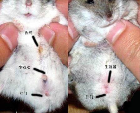 怎么样鉴别布丁仓鼠的公母图片