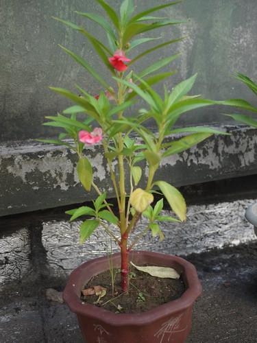 凤仙花的生长过程