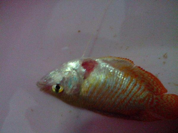 丽丽鱼丽丽鱼图片 红丽丽鱼1