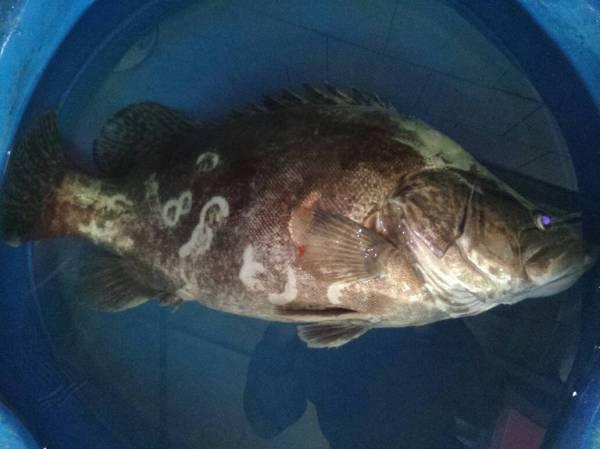 半个月前在长江里捞起一条十斤多重的鳜鱼 桂花鱼,季花鱼 ,因为它图片