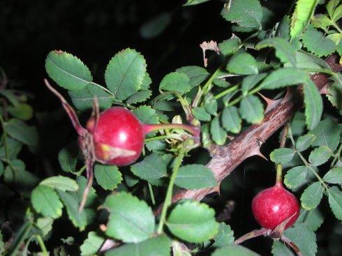 结红果的带刺植物