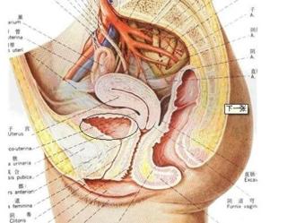 女性的子宫解剖图