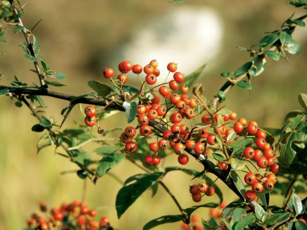 ,一种红树叶 结小红果的 观赏 植物 叫什么