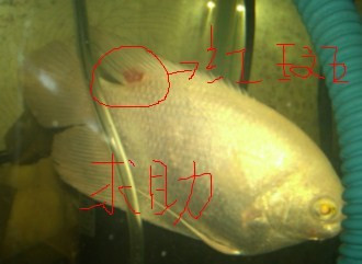 我有更好的答案   我的招财鱼身上出现红斑,施药不见效,求高清图片