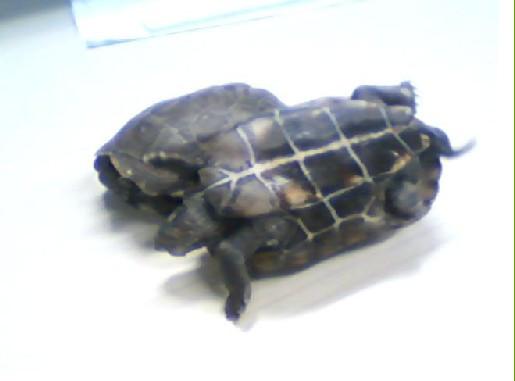 乌龟在沙子里冬眠,需要一星期补一次水,补多少 还有就是加了水在沙
