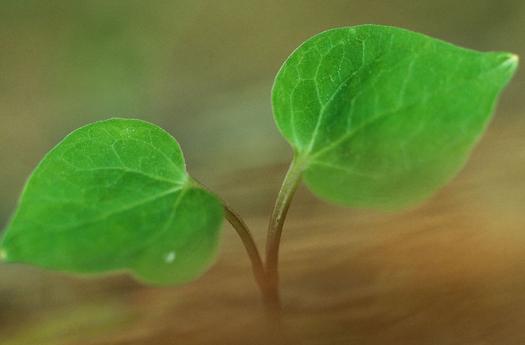 请问图片中的植物叫什么名字 叶子呈桃心状,叶片非常小