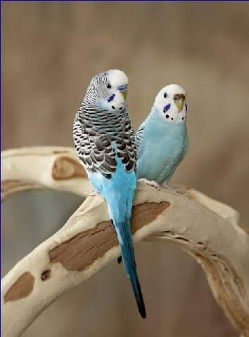 虎皮鹦鹉求公母图片