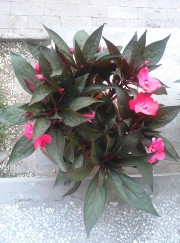 我家的凤仙花枯萎了,不知道怎么回事,是土有问题呢还是怎么了,