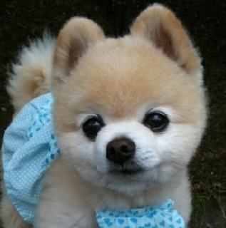 小型宠物狗的品种名称是三个字的有哪些 较常见的