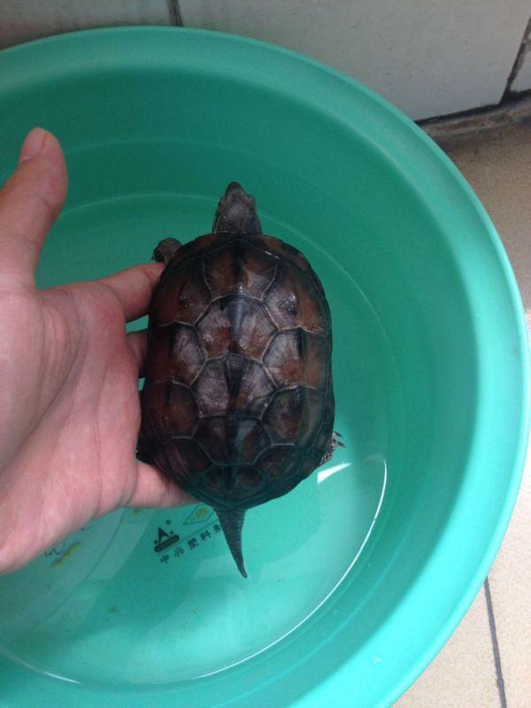 买了只草龟,怎么分辨公母图片