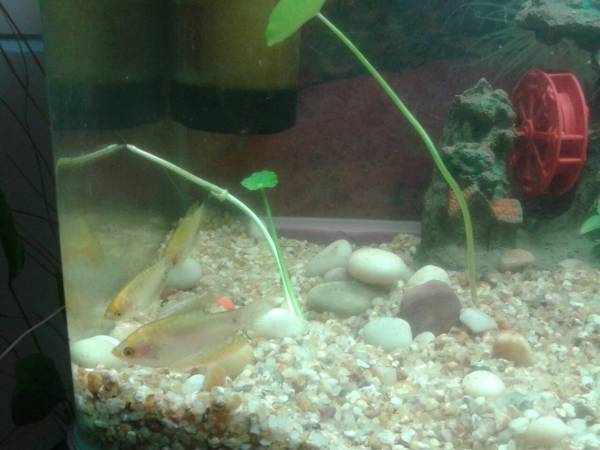 曼龙鱼公母怎么分图片