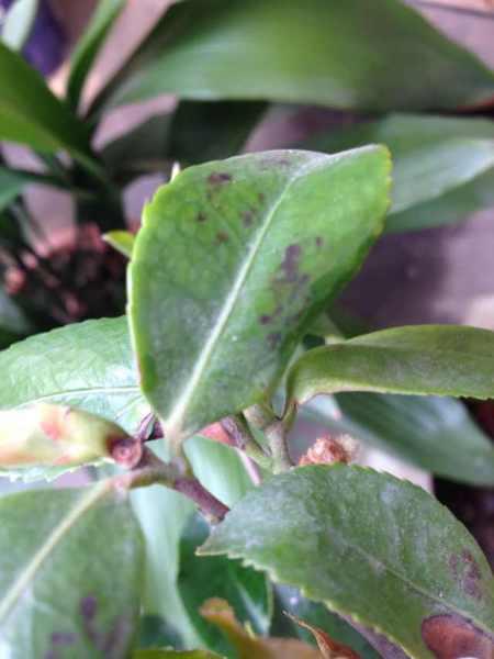 茶花换盆后花苞干了叶子掉了怎么回事图片
