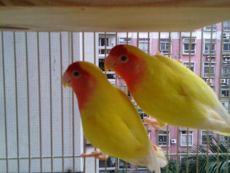 我家黄桃鹦鹉仰着脖子站不稳很不精神,请问这是怎么了图片