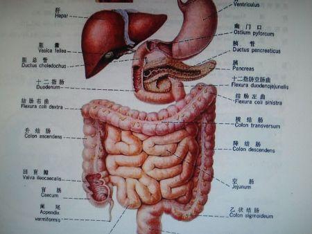 人体五脏六腑分布图 1813 高清图片