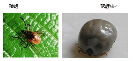 蜱虫勹d�9������/)9b_请问这个是蜱虫吗? 如果不是 那是什么虫子呢? 被它咬